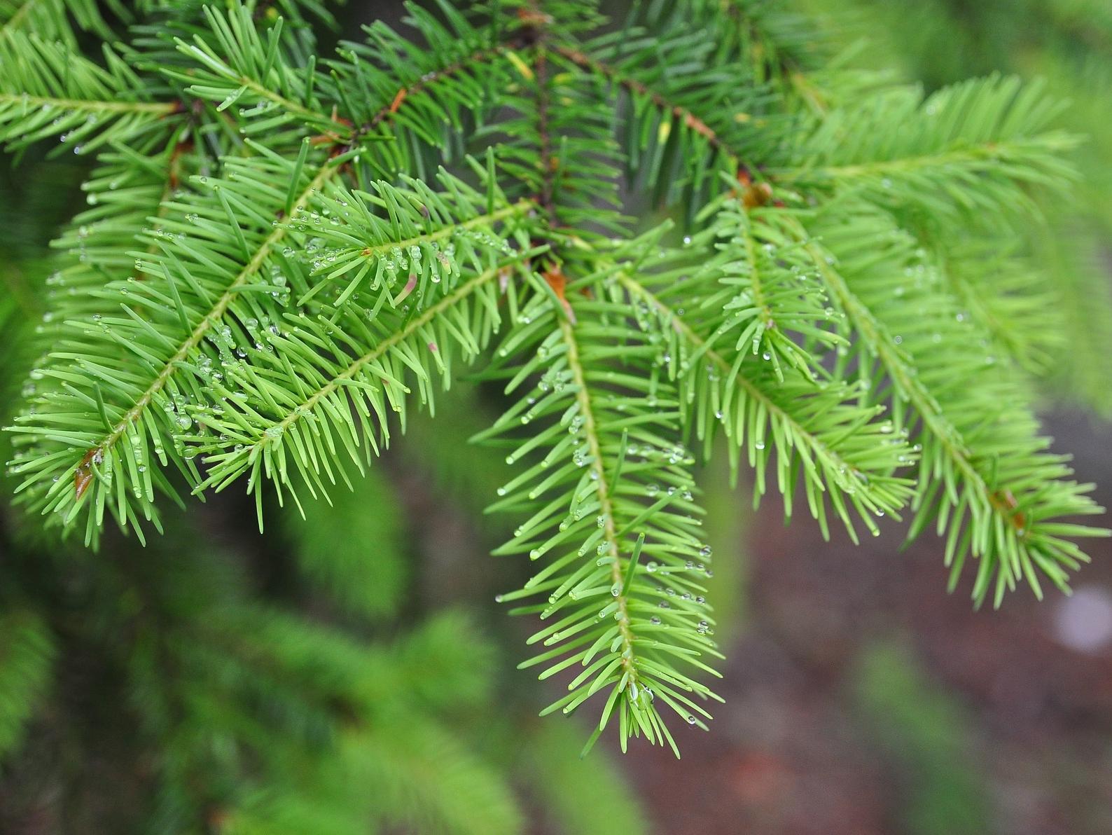 Jehličnaté dřeviny